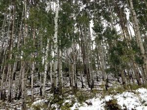 Trees in Colorado